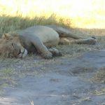 Lion, full up on buffalo