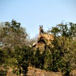 Giraffes leaning to fight