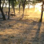 Buffaloes in the morning mist