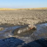 Hippo wallowing in the mud